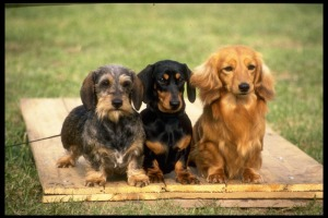 Three varieties of dachshund 415019