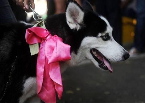 Cachorro chamado Alaska usa um laço pink durante uma parada de cachorros neste domingo (4), em Manágua, Nicarágua. (Foto: AFP)