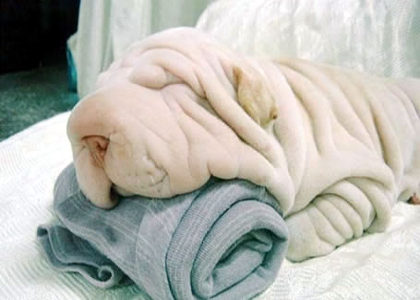Cachorro toalha